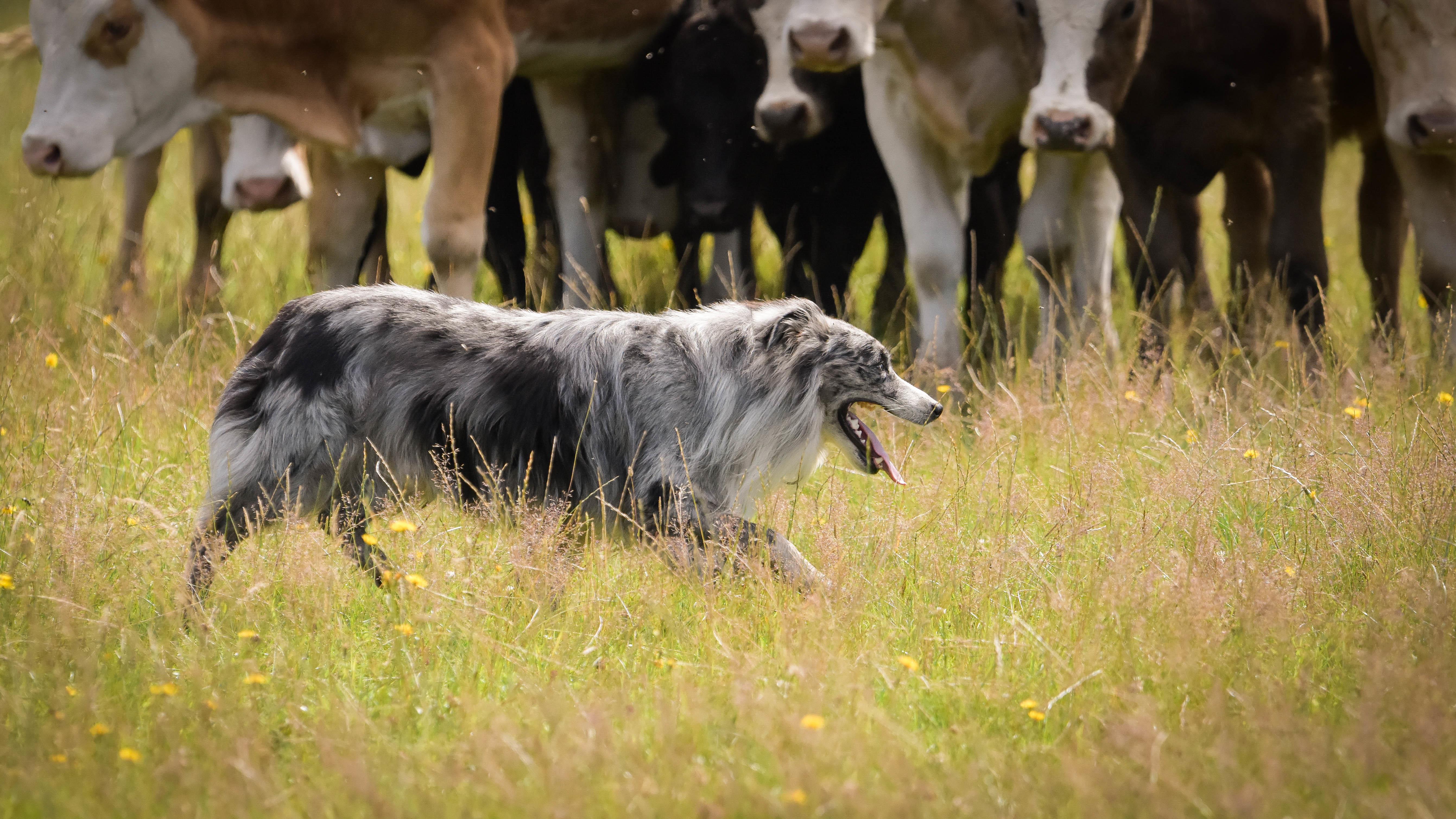 En Australian Shepherd framför nötdjur