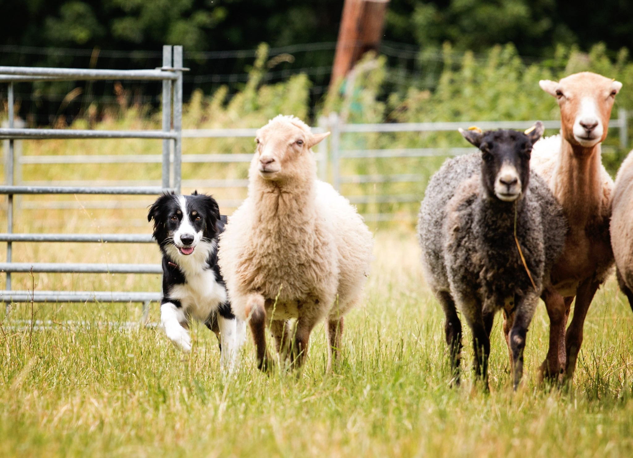 En svartvit australian shepherd med några får